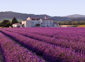 800px-Lavender_field